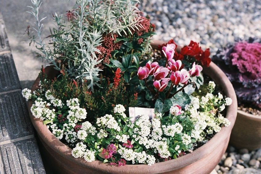 Pentax SpII Fujicolor Industrial 100 Flower Plant Potted Plant Outdoors Day Close-up