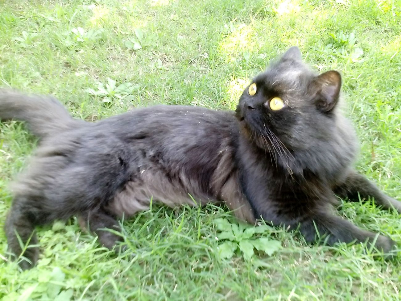 Nature Nature Photography Outdoor EyeEmNewHere Grass Animal Themes Pets Day Persian Cat  Animalphotography Pakistan Blackcatlove Cats Cutecat Tom Green Colour Black BLackCat Goldeneyes Catphotography Eyes Are Soul Reflection Catlover Adorable Cats Of EyeEm Animal Love EyeEmNewHere