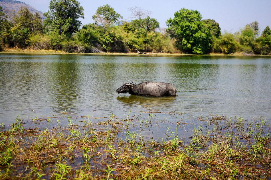 Beautiful stock photos of buffalo,  Animal Themes,  Beauty In Nature,  Buffalo,  Champasak
