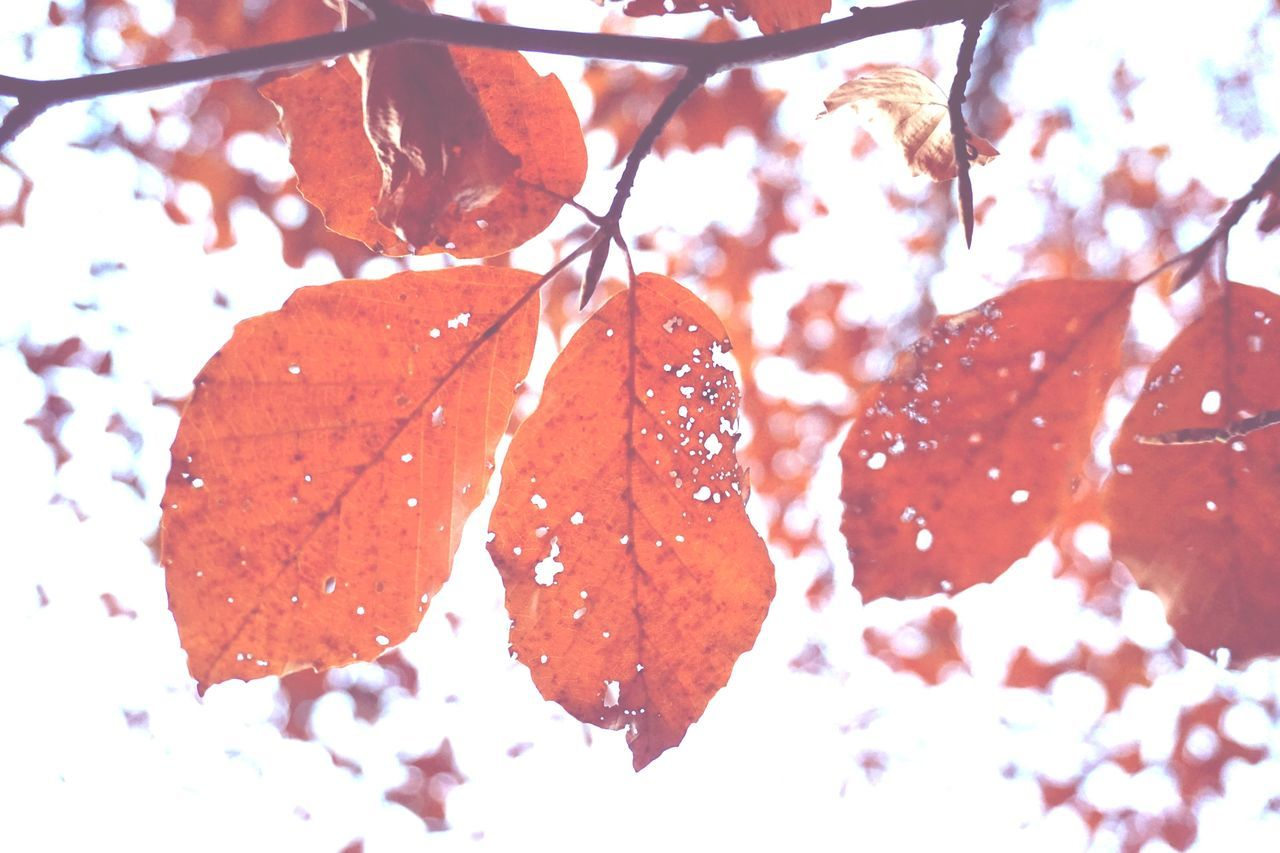 leaf, autumn, nature, change, close-up, beauty in nature, no people, day, cold temperature, tree, frozen, white background, branch, outdoors, red, fragility, winter, maple leaf, maple, water, freshness