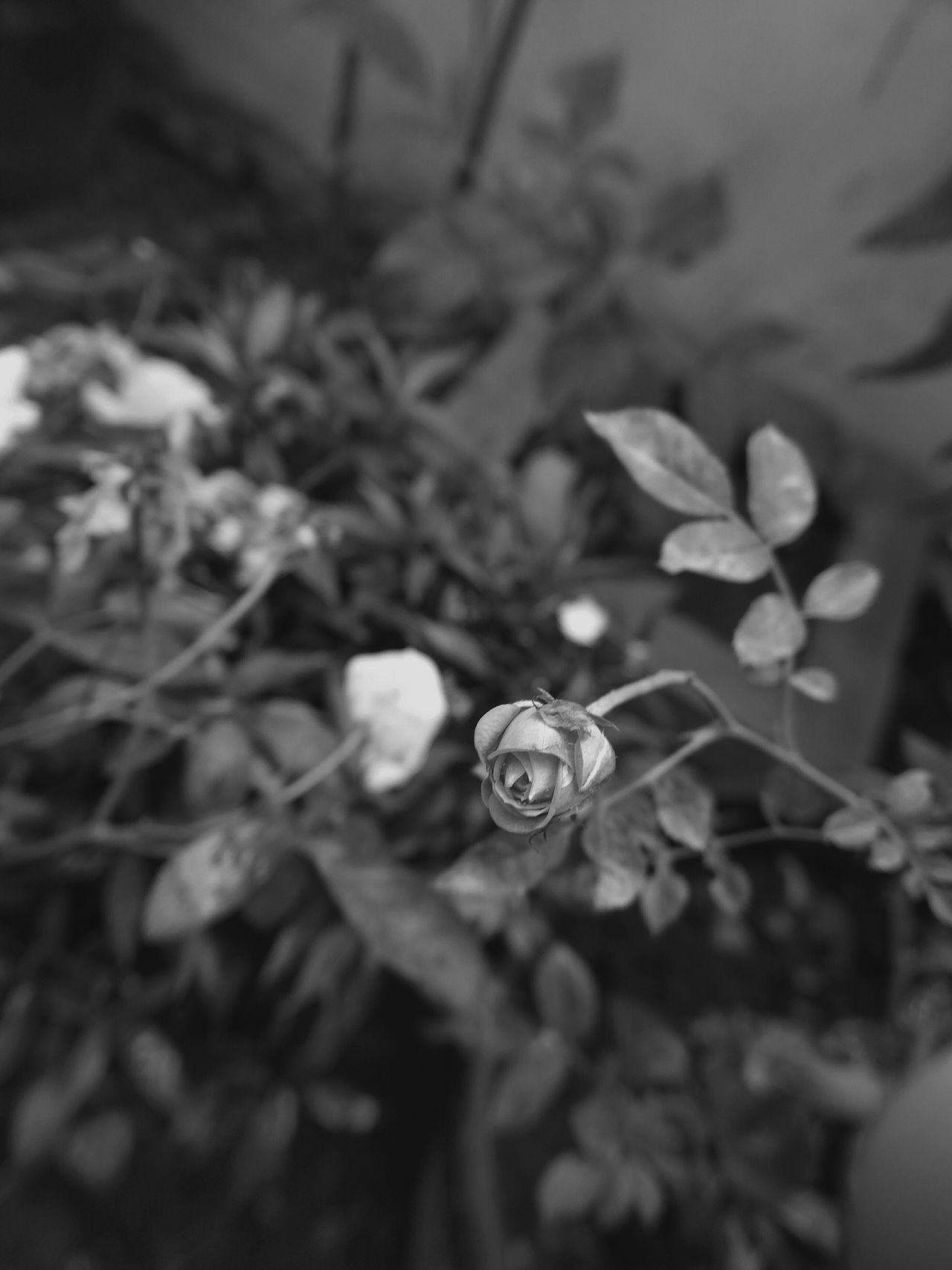 Monochrome Black&white Aiikos Garden Flowerporn Blackandwhitephotography Aiikos Black.n.white Black & White Flower Porn Flower Collection Aiikos Flowers Roses Flower Aiikos Heaven Aiikos Dark Moods @aiiko Rose🌹 Roseporn Black And White Photography Blackandwhite Photography