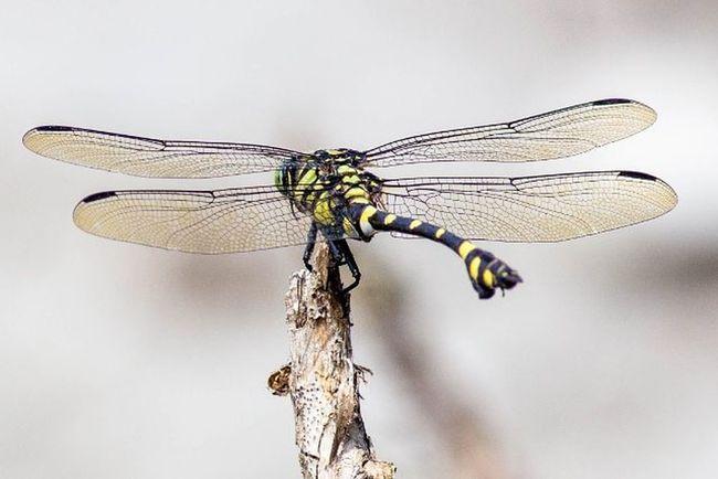 蜻蜓 小憩 隨記 帶著鏡頭趴趴照 生態 昆蟲 噓