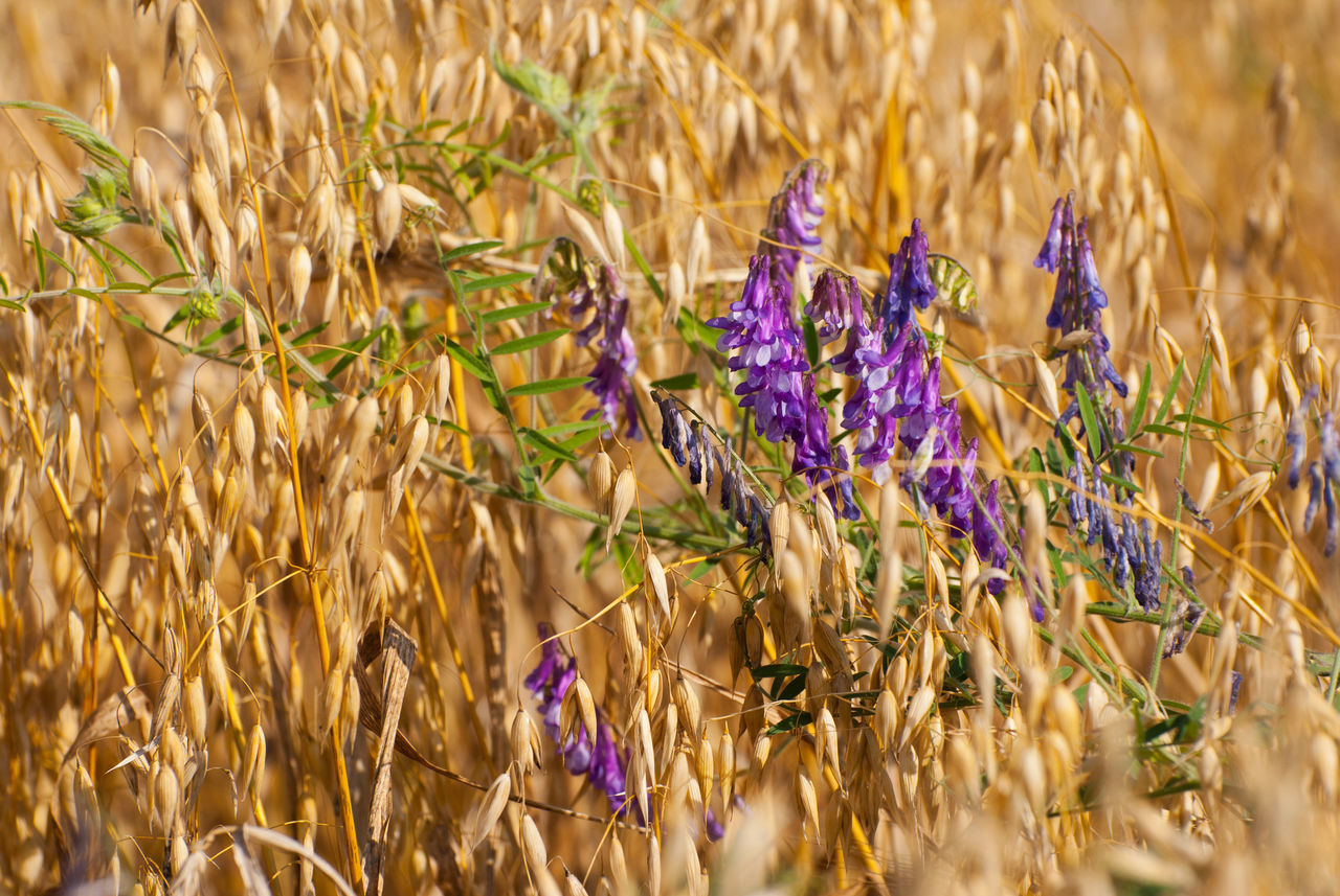 Golden cereal Avena or oats and Vicia grow in field, plenty ripe plants ready to harvest and beautiful purple flowering weeds detail, open air. Photo taken in Poland. Agriculture Agriculture Avena Blooming Cereal Plant Fabaceae Field Flower Flowering Flowers Nature Oat Oats Plant Plants Poaceae Purple Rural Rural Scene Tendril Tendrils Vetch Vetches Vicia Weed
