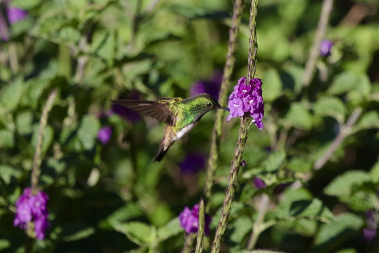 Animal Themes Animal Wildlife Animals In The Wild Beauty In Nature Bird Close-up Day Flower Freshness Hovering Hummingbird Mid-air Nature No People One Animal Outdoors Perching Purple