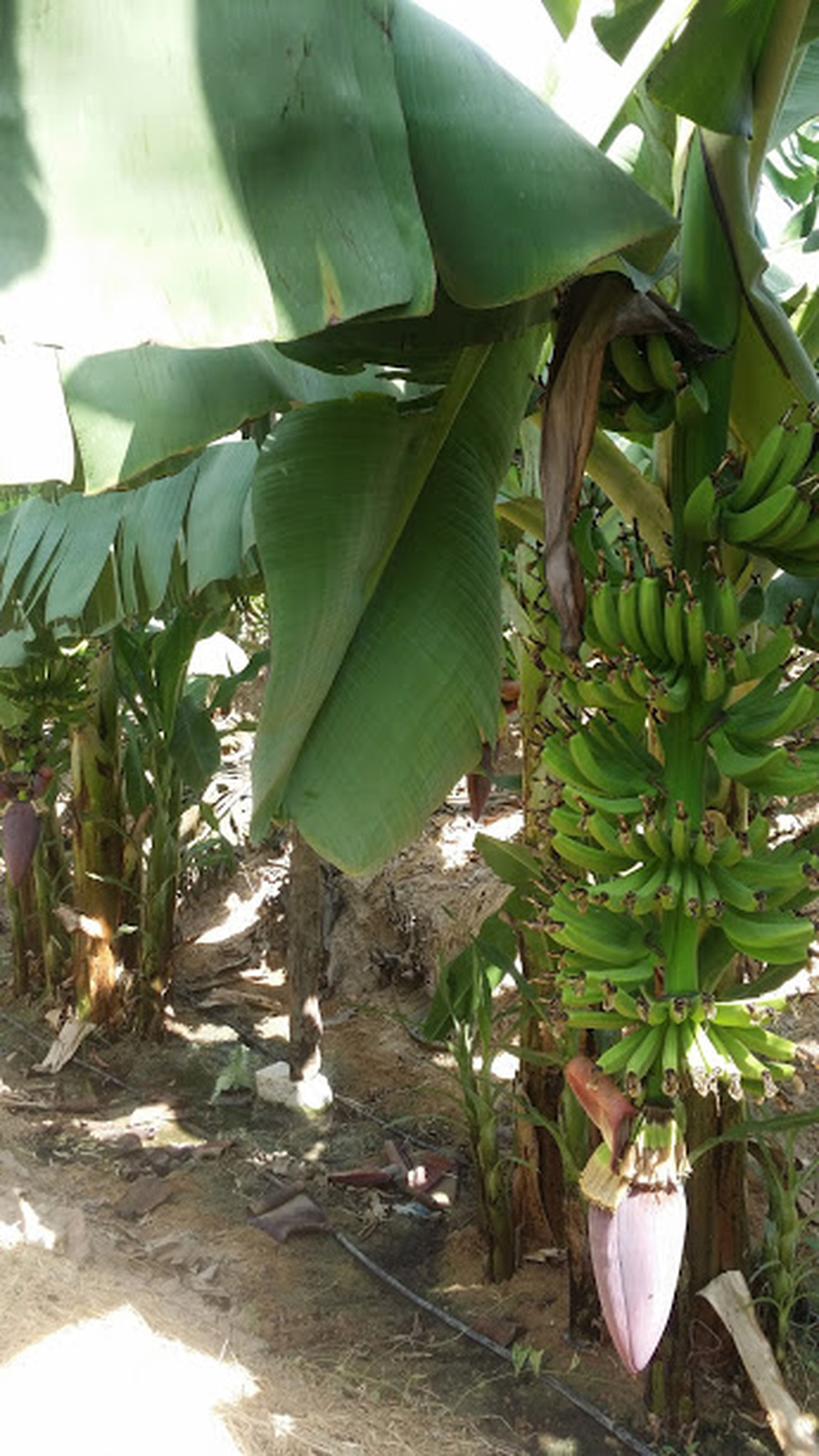growth, leaf, green color, no people, nature, agriculture, banana tree, food and drink, plant, close-up, freshness, food, outdoors, day