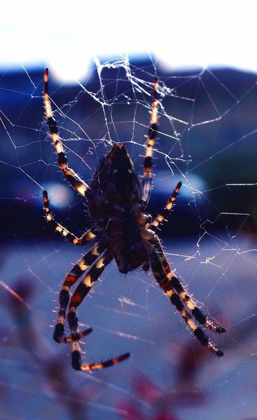 """""""Normal is an illusion. What is normal for the spider is chaos for the fly."""" Spider Spider Web Animal Themes Animals In The Wild Close-up Nature Insect Animal Wildlife Beauty In Nature Animal Morticia Addams Illusion Scare Wild Survival Outdoors Strong Legs Animal Addamsfamily Colors Blue"""