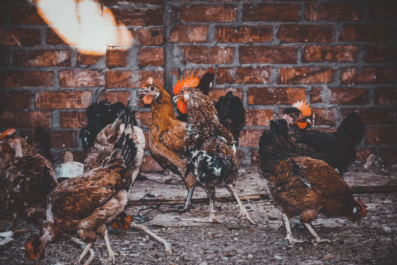 A Lot Of Birds Adapted To The City Animal Themes Architecture Brick Wall Built Structure Check This Out Chicken Cockerel Covey Day Domestic Animals Exceptional Photographs EyeEm Best Shots EyeEm Birds First Eyeem Photo Hen Indoors  Livestock No People Popular Photos Rooster Swarm The City Light The Great Outdoors - 2017 EyeEm Awards The Street Photographer - 2017 EyeEm Awards