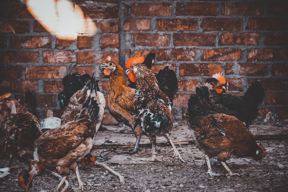 A Lot Of Birds Adapted To The City Animal Themes Architecture Brick Wall Built Structure Check This Out Chicken Cockerel Covey Day Domestic Animals Exceptional Photographs EyeEm Best Shots EyeEm Birds First Eyeem Photo Hen Indoors  Livestock No People Popular Photos Rooster Swarm The City Light