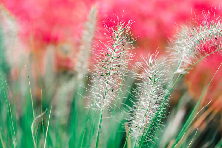 Autumn Autumn Colors Grass Grasses In The Foreground Lampenputzergras Nature Photography Perspectives On Nature Beauty In Nature Close-up Field Filigree Focus On Foreground Fountain Grass Freshness Grasses Grasses In Autumn Grasses In The Wind Green Color Growth Nature Nature Lovers No People Outdoors Plant