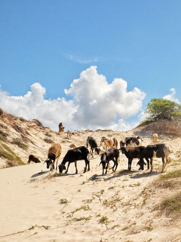 Sand Dunes Sky And Clouds Nature Goatling Domestic Animals