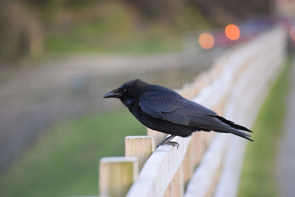 Birds Crow Pentaxamania Photography Taking Photos EyeEm Best Shots EyeEm NIKON D5300 Wildlife Photography Hollingworth Lake