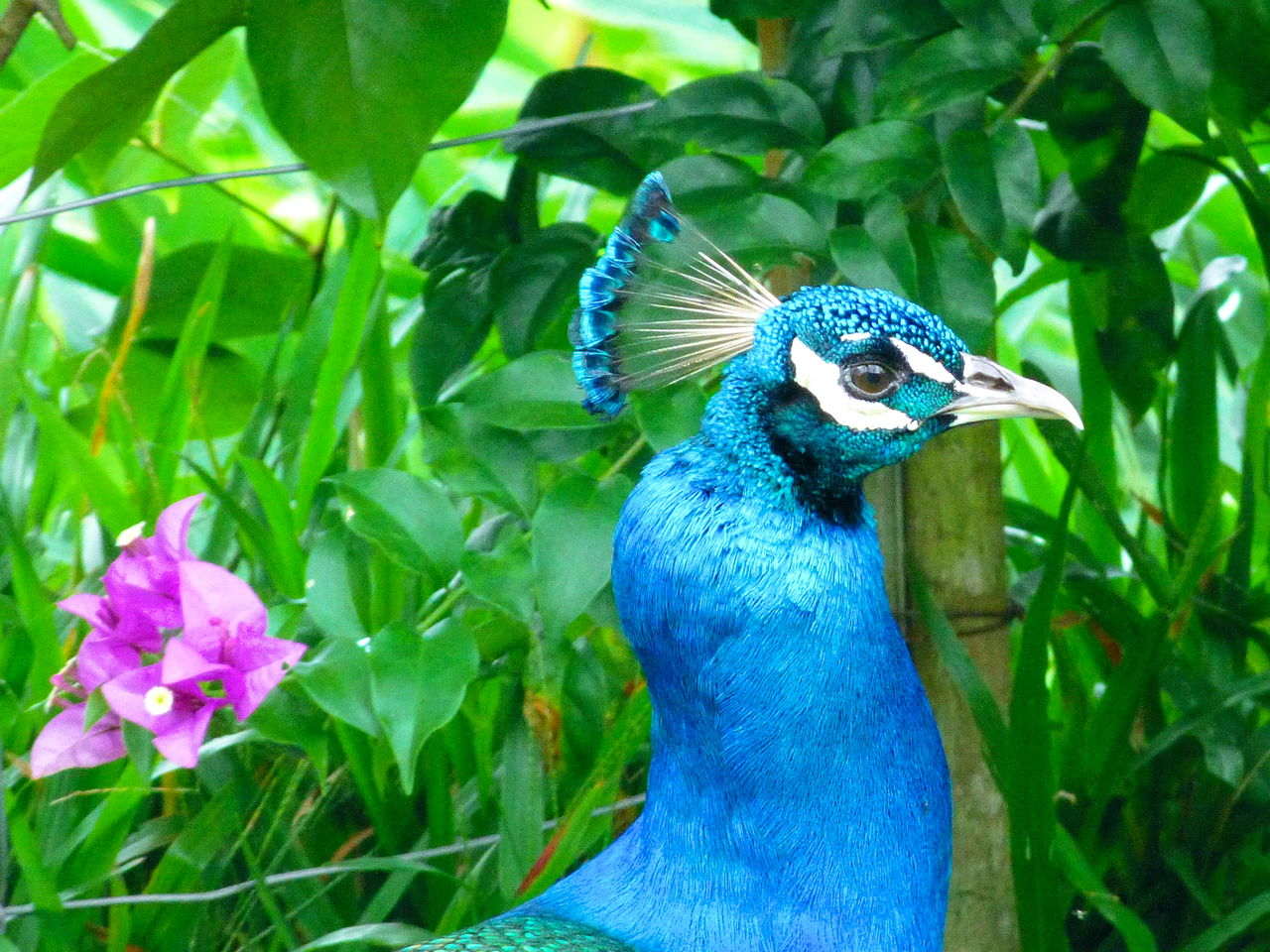 one animal, bird, animals in the wild, animal themes, peacock, blue, animal wildlife, green color, nature, beauty in nature, outdoors, focus on foreground, close-up, day, growth, no people, flower, peacock feather