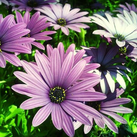 Flower Freshness Fragility Beauty In Nature Petal Nature Growth Flower Head Plant Purple Blooming Close-up Osteospermum Day Outdoors No People