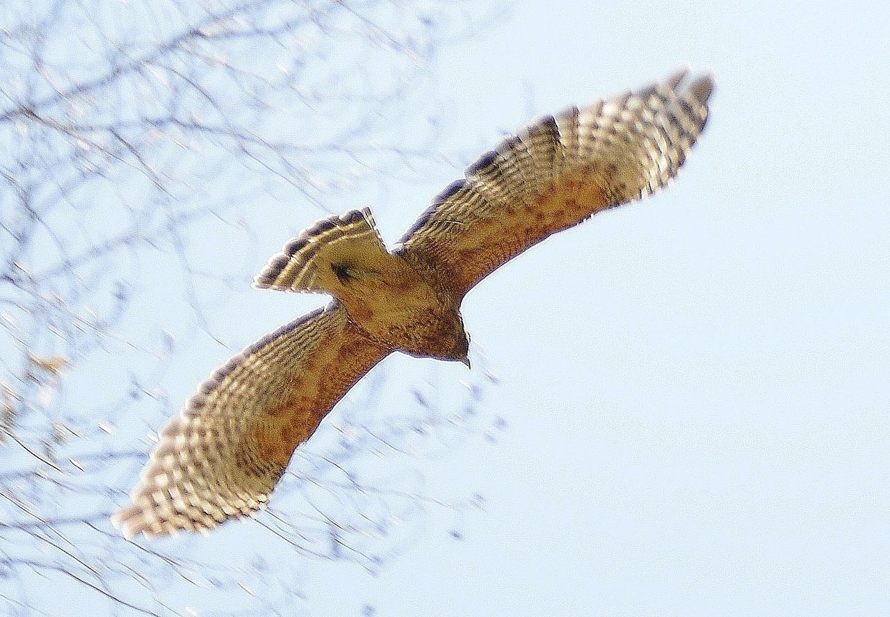 Soaring Coopers Hawk Animal Animal Themes Beauty In Nature Coopers Hawk Flying Nature No People Outdoors Soaring Hawk Wildlife Wing