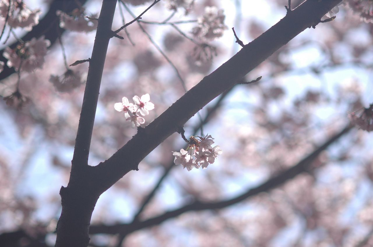 flower, cherry blossom, tree, branch, fragility, blossom, cherry tree, beauty in nature, springtime, nature, growth, orchard, low angle view, petal, apple blossom, day, plum blossom, freshness, twig, no people, pink color, outdoors, focus on foreground, close-up, flower head, sky