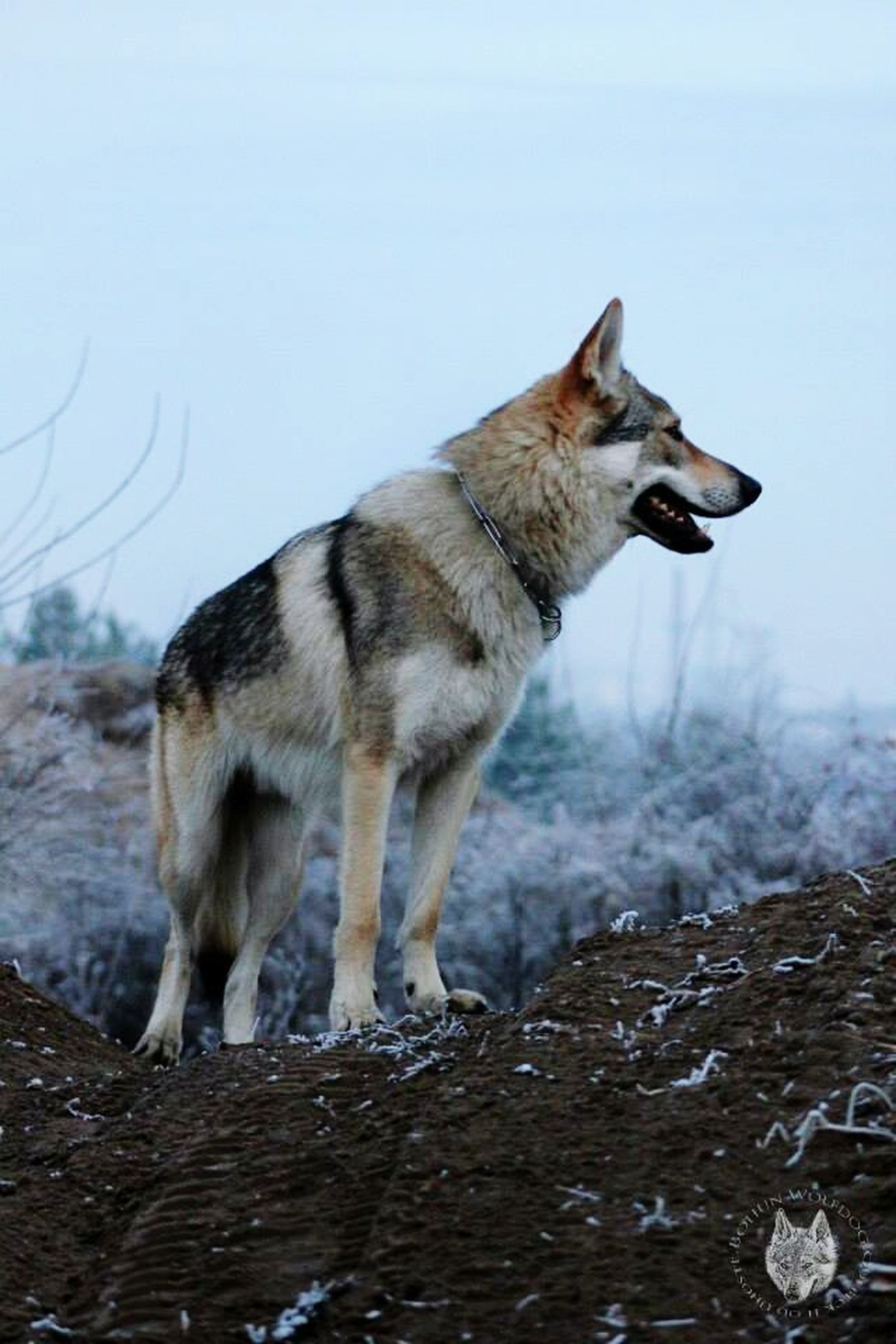 Canelupocecoslovacco Czechoslovakianwolfdog Csv Wolf BohunWolfdog Mypet Wolfdogs