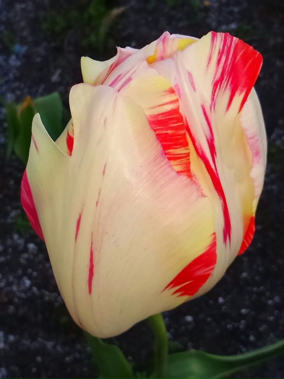 flower, petal, beauty in nature, nature, fragility, flower head, growth, freshness, plant, blooming, no people, close-up, outdoors, red, tulip, day
