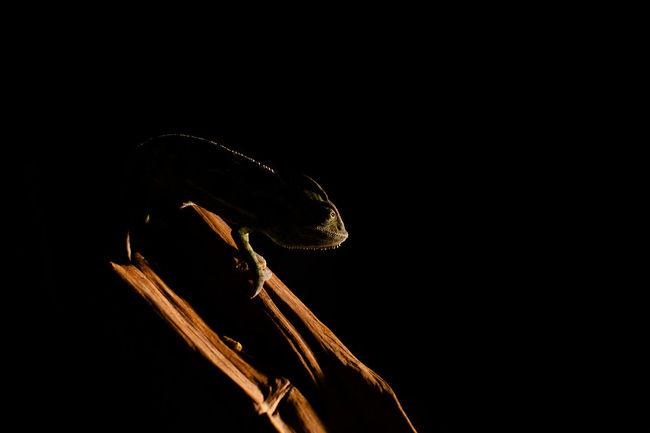 Animal Black Background Camaleon Hunt Hunting Mimetic Mimetism Predator Reptile Shadow