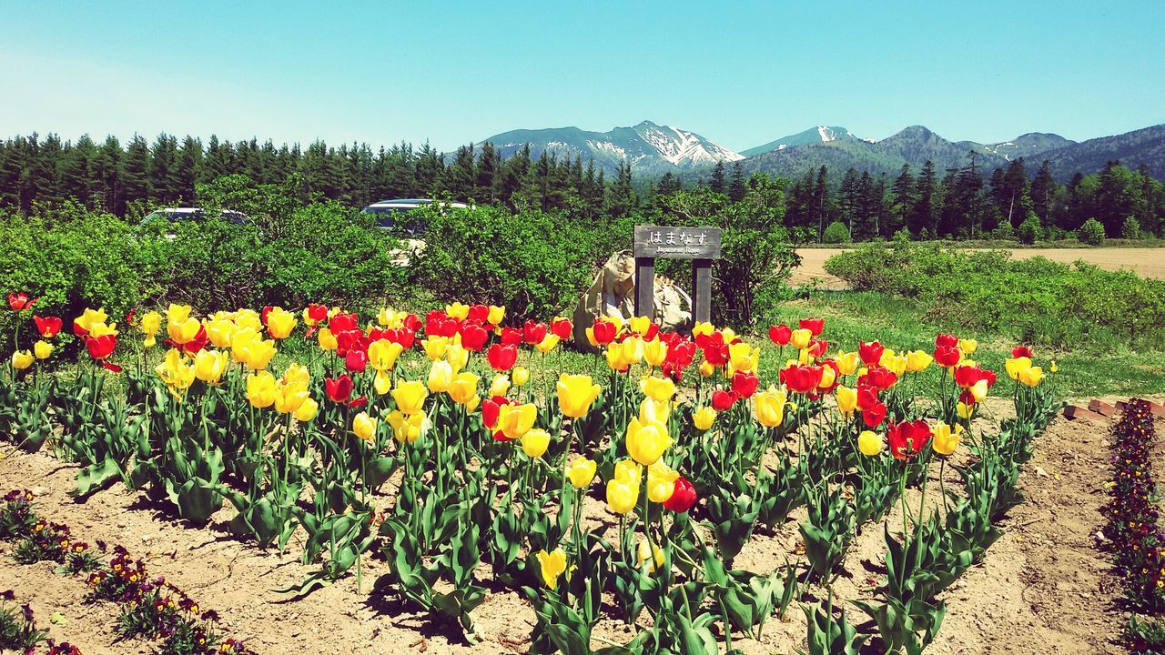 Hokkaido, Japan Sunny☀ 富良野 Beauty In Nature Tulips🌷 Yellow Red Green Nature Ultimate Japan The Great Outdoors - 2017 EyeEm Awards