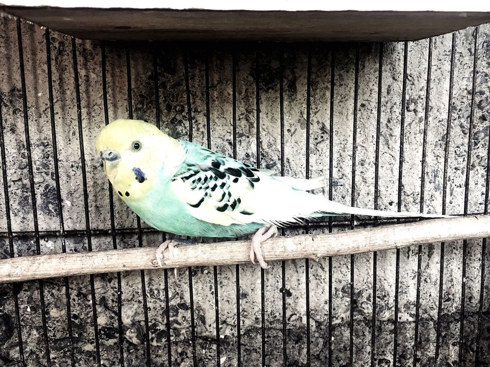 Animal Themes Bird Wood - Material Budgerigar Perching One Animal No People Nature Animals In The Wild Parrot Outdoors Cage Day Close-up Eyeem Philippines