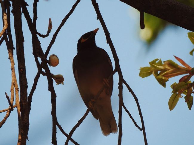 Animal Themes Bird Bird In A Tree Bird In The City Bird In The Tree Bird In Tree Bird Photography Bird Watching Birds Birds In A Tree Birds Of EyeEm  Birds_collection Birdwatching Common Mynah Day Myna Nature One Animal Outdoors