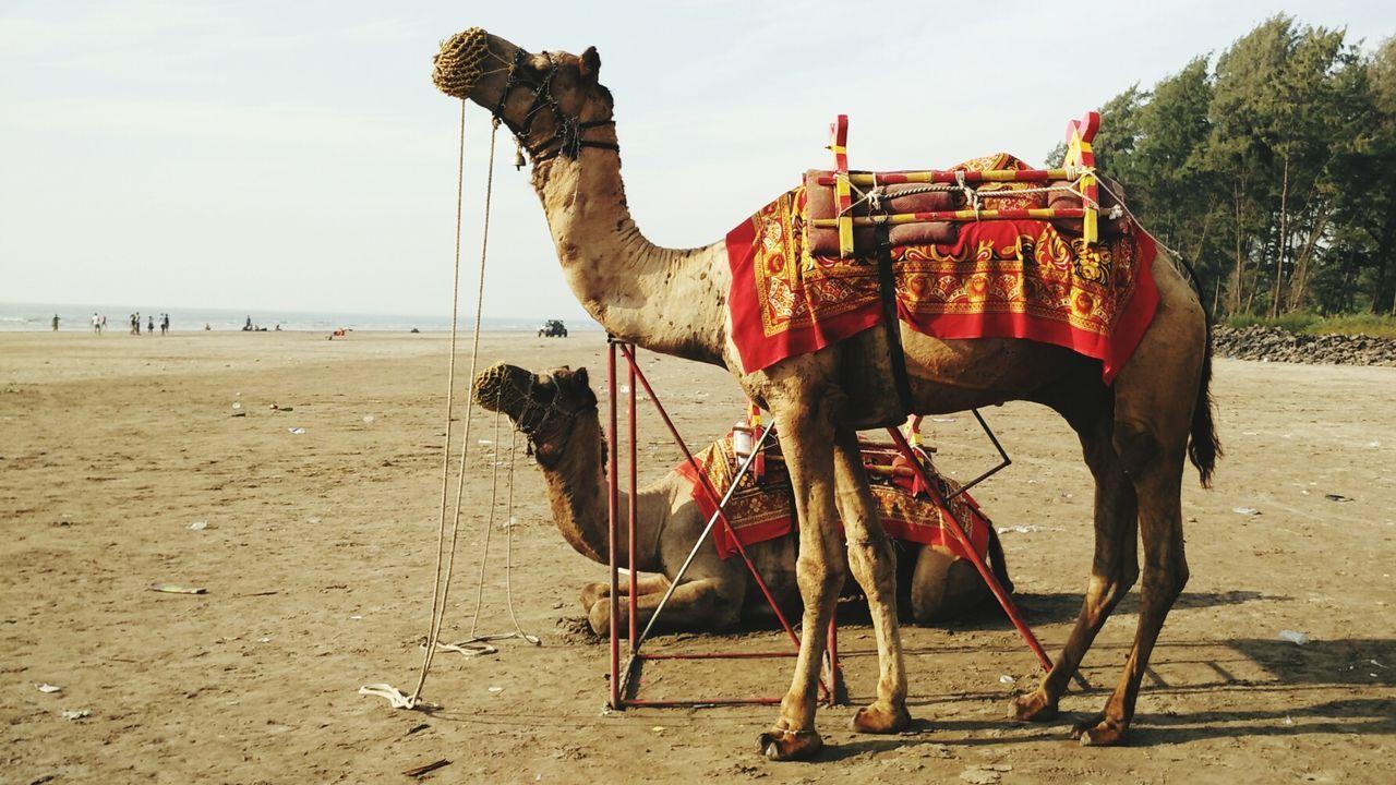 Beautiful stock photos of india, Animal Themes, Beach, Bridle, Camel