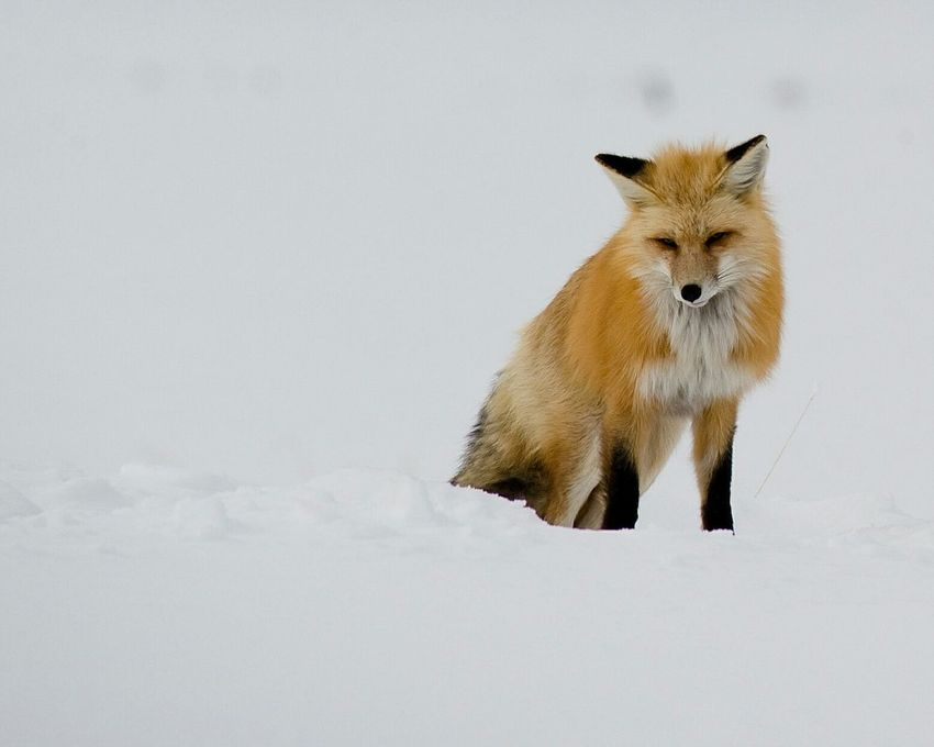 Beautiful fox in Yellowstone National Park Fox Yellowstone Yellowstonenationalpark Winter Winter Fox Winter Wonderland Wintertime Animals Animal Animal Photography