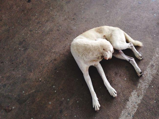 White dog Thai Street Dog White Dog In The Market Nonthaburi Thailand Lay Down