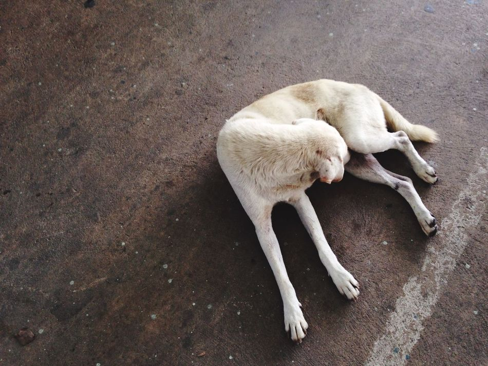 White dog Thai Street Dog White Dog In The Market Nonthaburi Thailand Lay Down