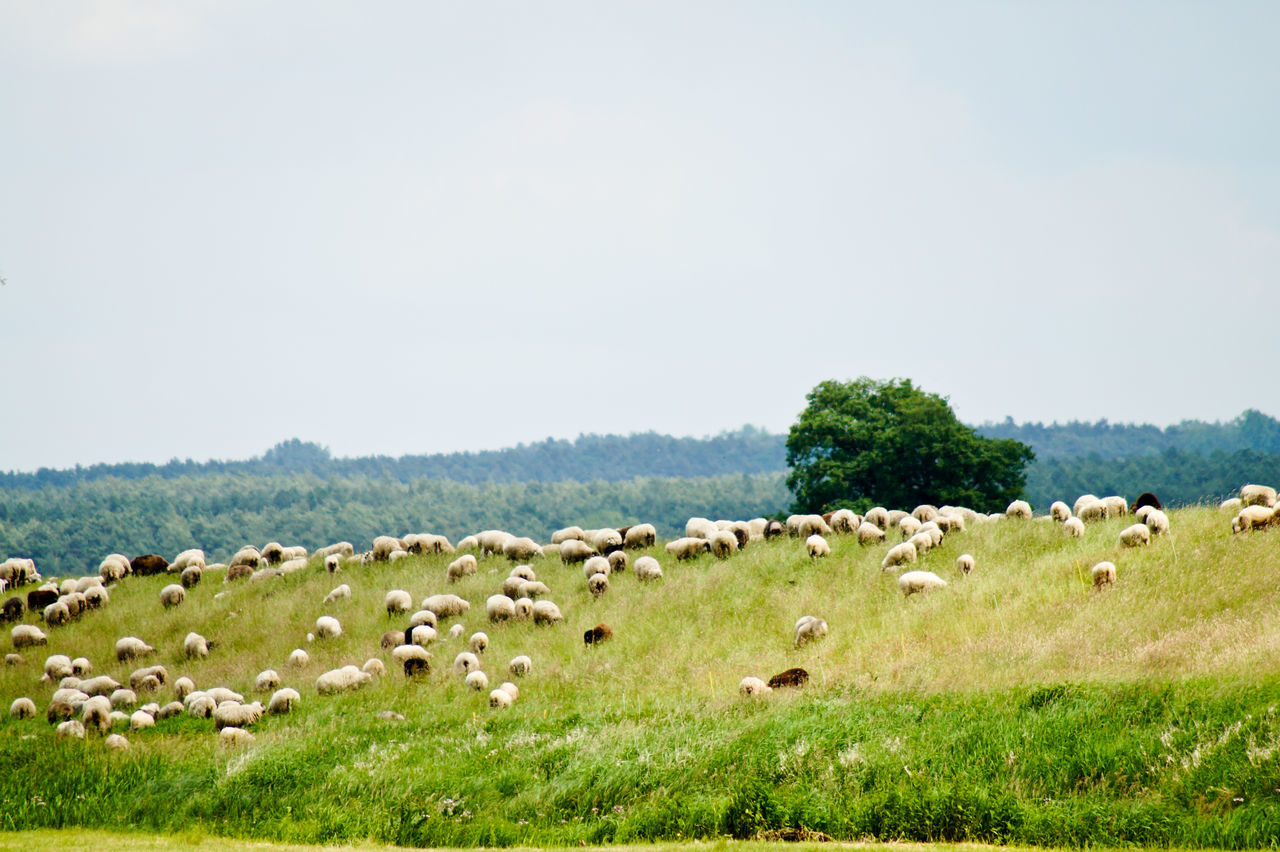 Flock Of Sheep Grazing On Grassy Field Against Sky