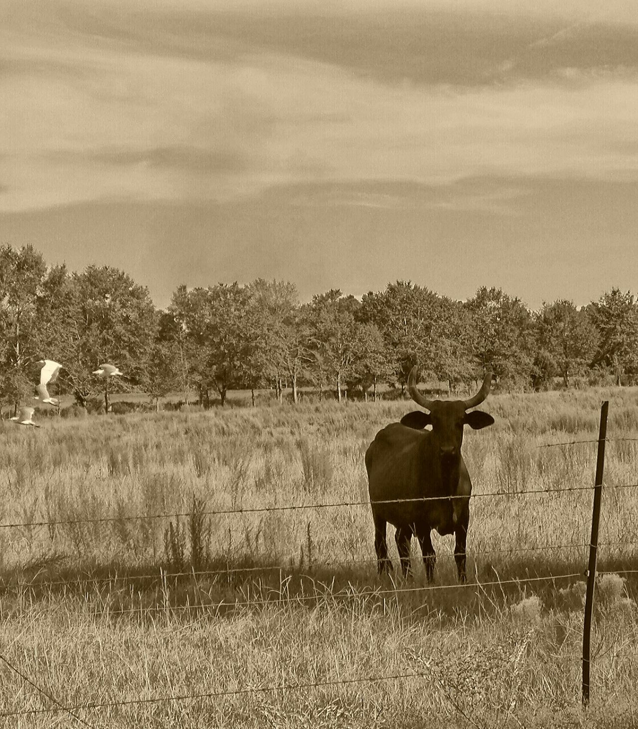 Cow, Flying White Birds, Rural, Field, Nature, Country, Animal