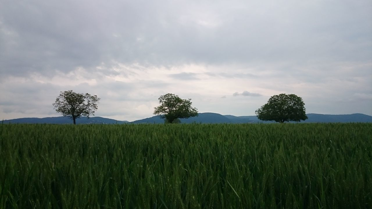 Tree Trees Trees Field And Trees Green Green Green!  Green Nature Mountains Field Nofilter Noedit Green Grün Feld Crops Getreide Cropsfield Trypticon Tree In A Row Trees And Sky Big Trees Große Bäume Odenwald  Odenwald...... Getreidefeld Hanging Out Taking Photos