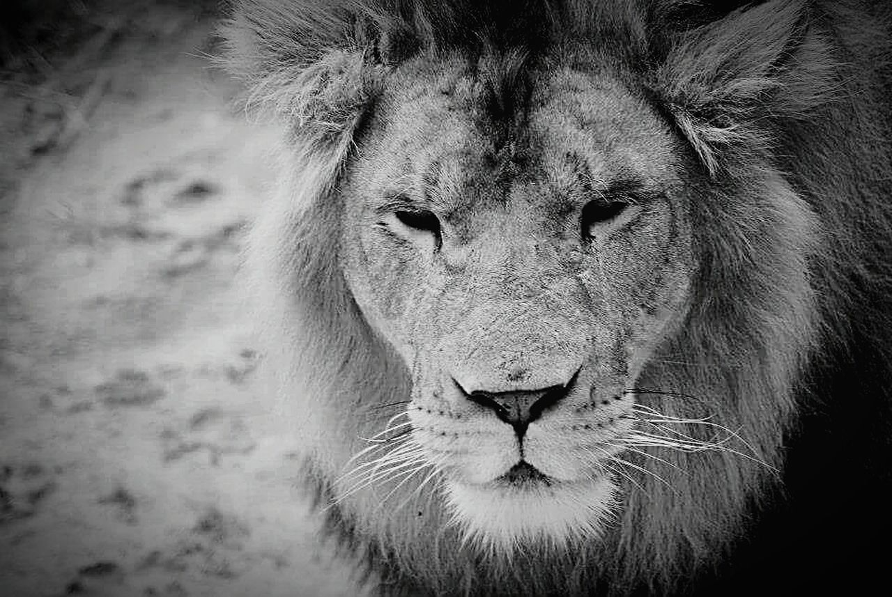 animals in the wild, one animal, lion - feline, animal themes, animal head, mammal, animal wildlife, portrait, outdoors, safari animals, day, no people, nature, close-up