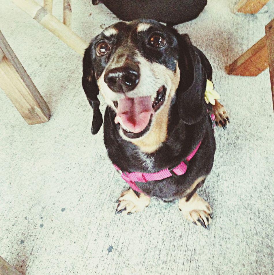 Happy Dog Pixii  Hot Dography Dachshund