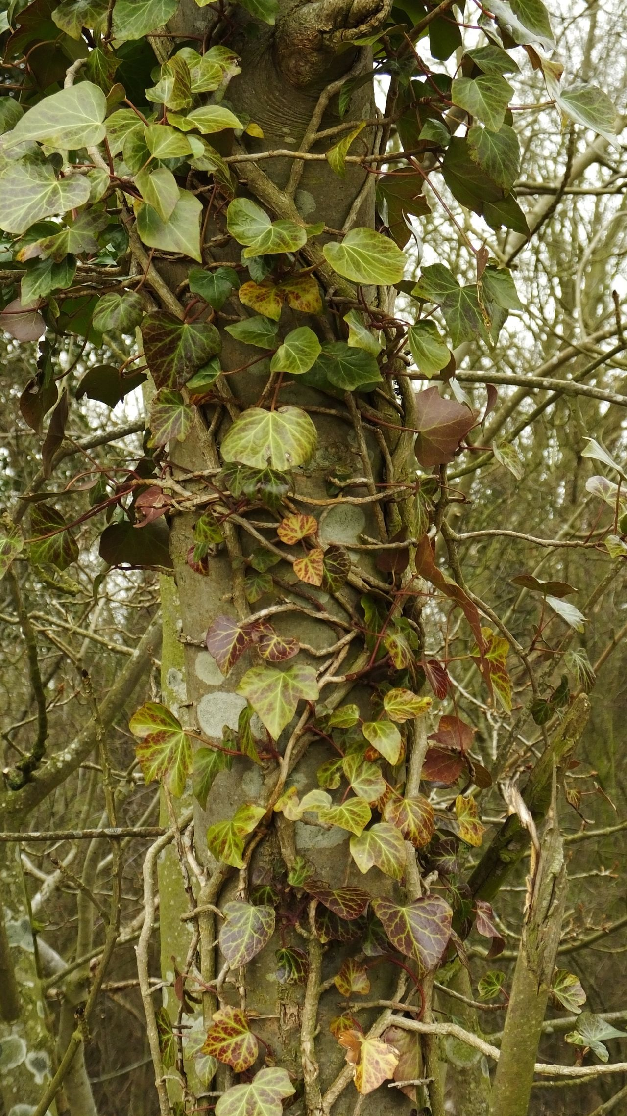 Ivy Ivy Leaves Ivy Covered Colours Changing Seasons Changing Leaves Tree Growing Plants Growing Climbing Plant Climbing Nature Natrual  Wood Woods Competing Competition UniSon Partnership