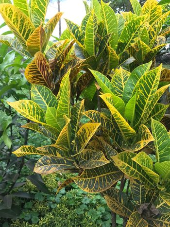 Paint The Town Yellow Leaf Growth Yellow Color Plant Nature Day No People Outdoors Beauty In Nature Banana Tree Close-up Freshness