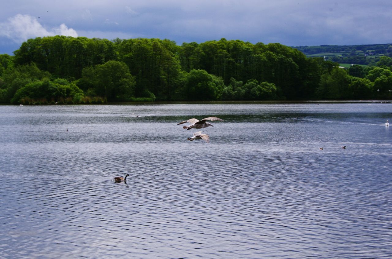 animals in the wild, nature, bird, water, animal themes, lake, tree, waterfront, outdoors, day, beauty in nature, no people, sky, animal wildlife, goose, scenics, swimming, flying, swan