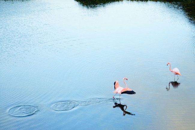 Need For Speed Flamengos Birds Birds And Water at Galapagos Ecuador Showcase June