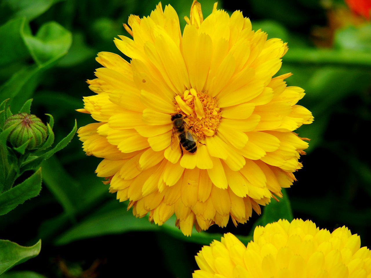 flower, yellow, insect, petal, animal themes, one animal, animals in the wild, bee, fragility, nature, beauty in nature, freshness, flower head, animal wildlife, outdoors, growth, honey bee, pollination, plant, close-up, day, no people, buzzing
