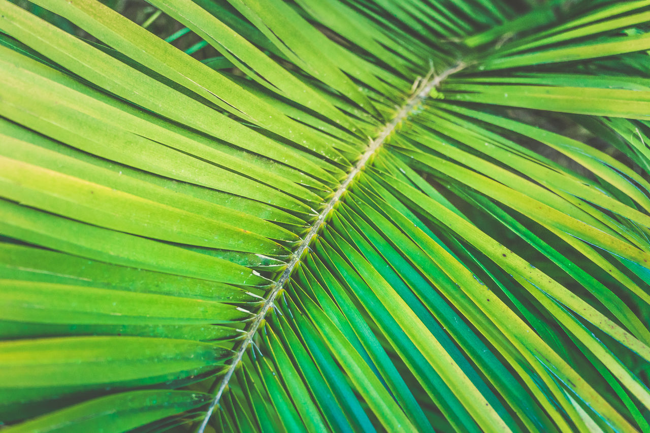 leaf, green color, full frame, backgrounds, nature, palm leaf, close-up, frond, growth, no people, beauty in nature, fragility, day, freshness, palm tree, outdoors, plant