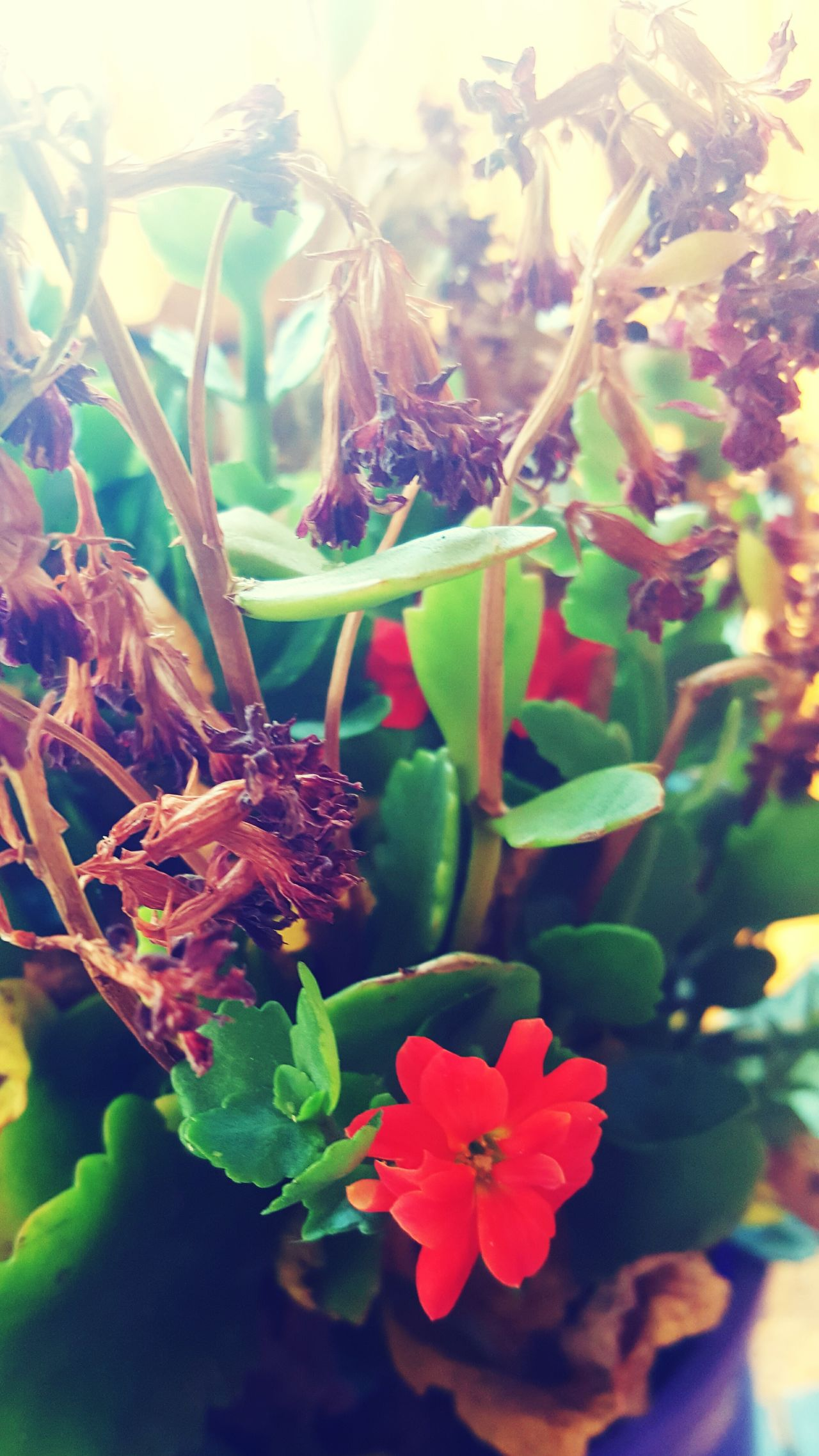 One remains - Kalanchoe Flowers Flowers,Plants & Garden Flower Photography Kalanchoe Withered Flowers Withered  Withered Plants