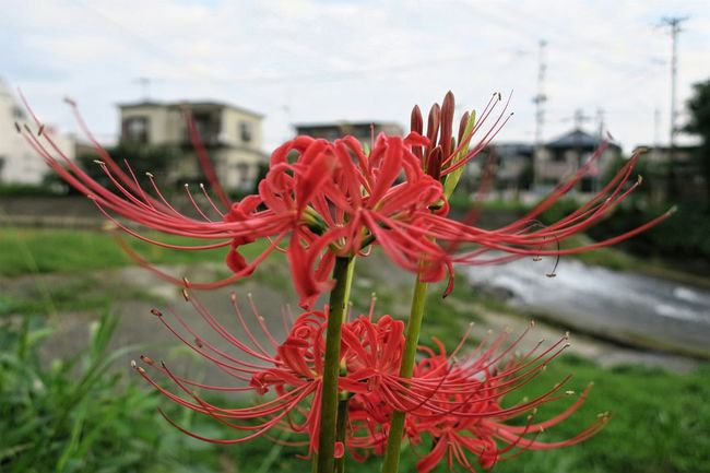 見つけた!...この一枚のために駅まで全力DASH!! Focus On Foreground Flower Red Close-up Freshness Growth Plant Flower Head Nature Beauty In Nature Bokeh Autmun Canon Powershot G9X City Life Fukuoka,Japan Beauty In Nature Nature Plant Red Flower Red Redspiderlily
