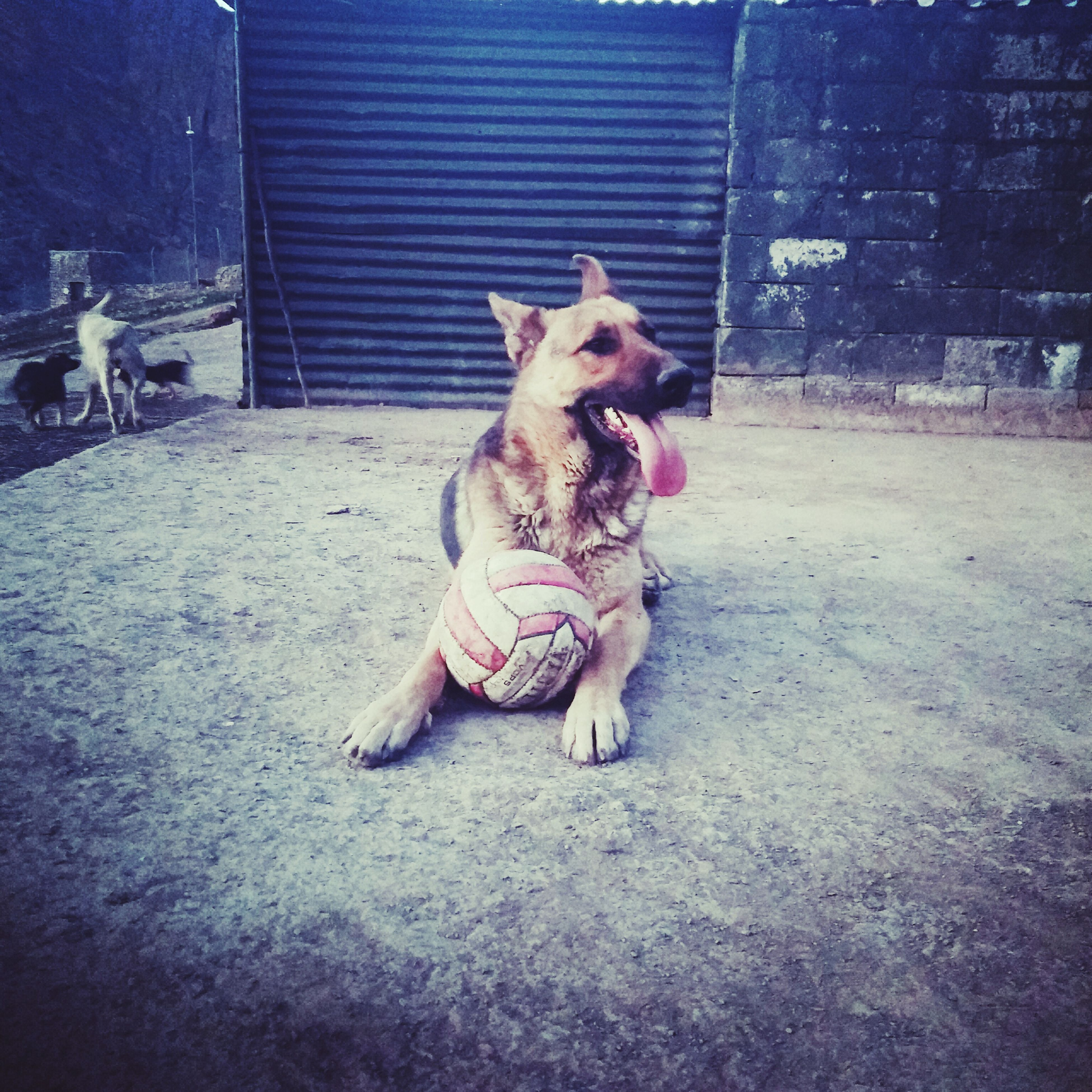 domestic animals, animal themes, mammal, pets, dog, one animal, full length, relaxation, two animals, sitting, pet collar, built structure, zoology, building exterior, lying down, livestock, pet leash, architecture, sunlight, animal