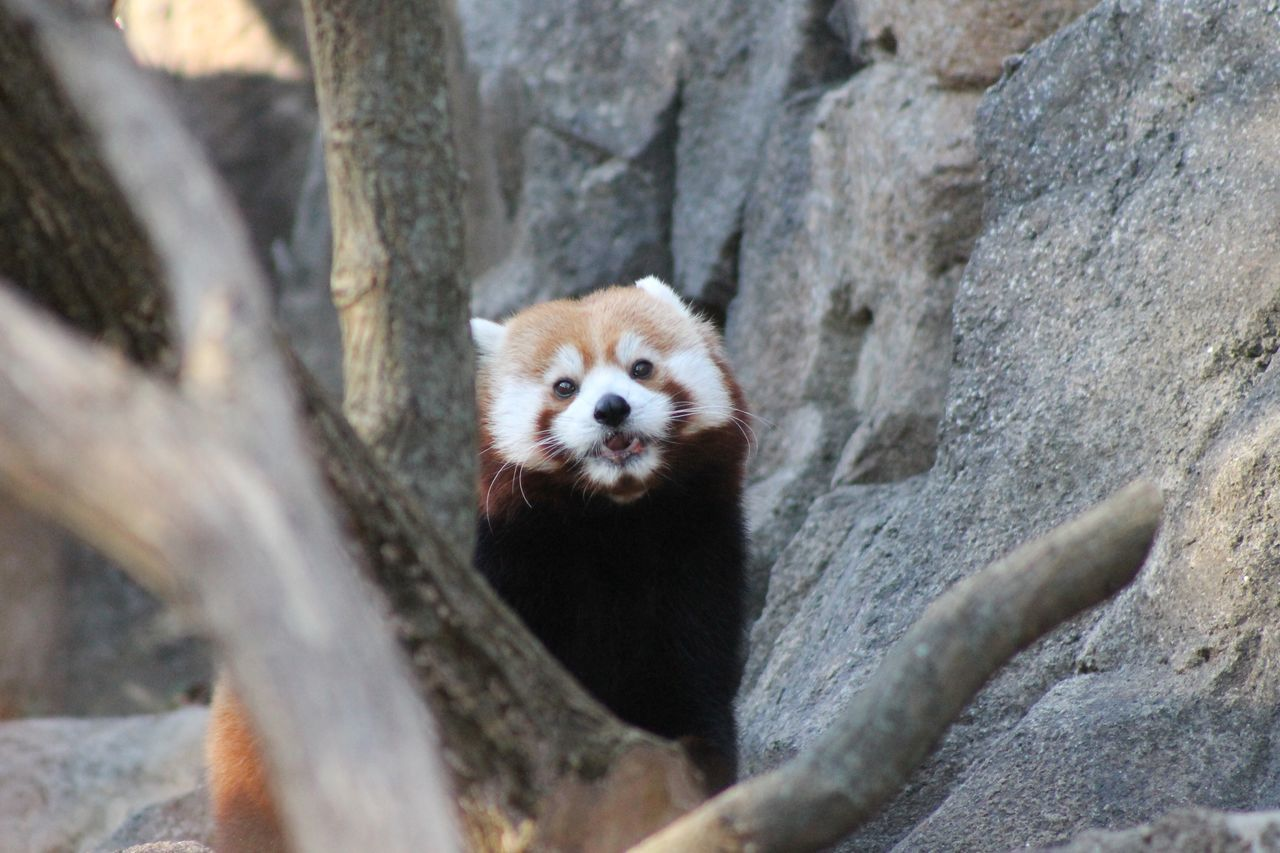 Red Panda Animal Life Nature Like Picture Of The Day Picture