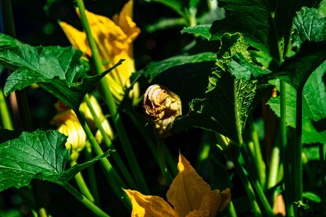 Beauty In Nature Botany Close-up Day Focus On Foreground Fragility Freshness Green Green Color Growing Growth Leaf Leaf Vein Leaves Natural Pattern Nature No People Outdoors Plant Selective Focus Tranquility Yellow Zucchini Flower Zuchetti Zuchinni