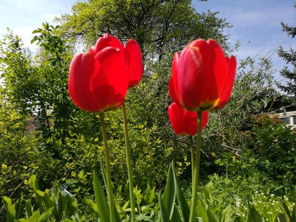 Repost of one of my most popular photos but in Nofilter and Noedit. NoEditNoFilter No Filter, No Edit, Just Photography No Filter Flower Red Nature Plant Beauty In Nature Poppy Growth Summer Tulip Outdoors No People Rural Scene Close-up Day Fragility Sky Grass Freshness Tree Flower Head