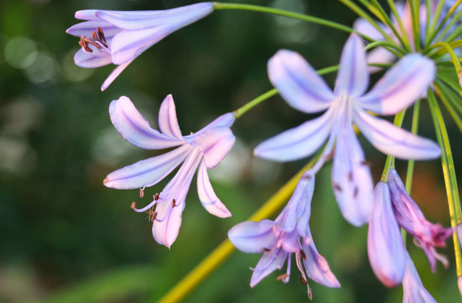 Agapanthus Agapanthus Africanus Close-up Flower Flower Head Petal Purple