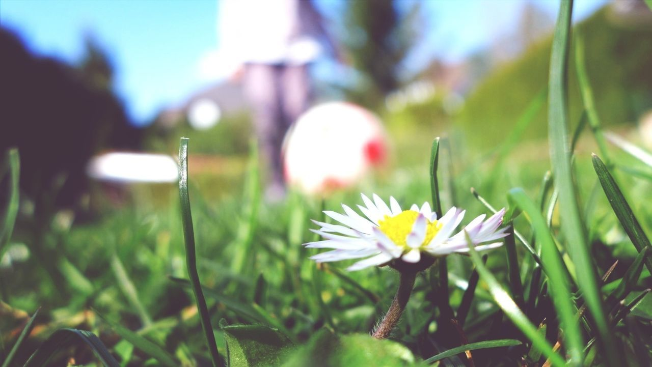 flower, growth, nature, beauty in nature, grass, freshness, outdoors, petal, plant, day, blooming, fragility, no people, close-up, flower head