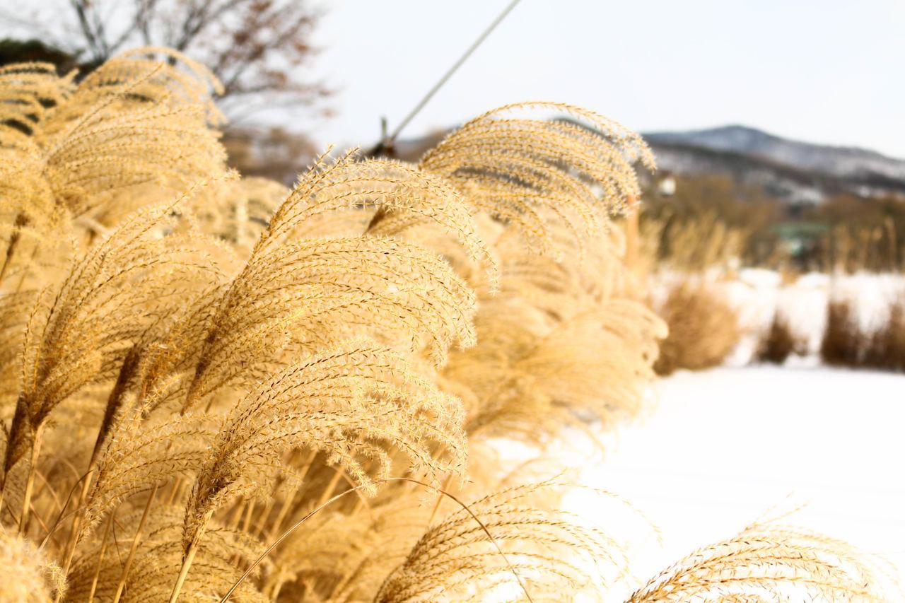 Winter Cold Winter ❄⛄ Cold Cold Days Snow Silver Grass Cheon-an Samgeori , South Korea