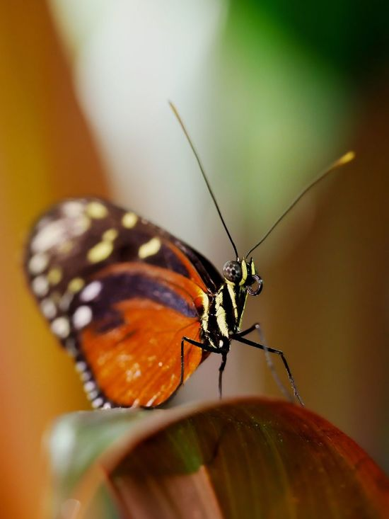 A butterfly sitting on a leaf Animal Animal Themes Animal Wildlife Beauty In Nature Butterfly Butterfly - Insect Butterfly Collection Close-up Colorful Fragility Heliconius Hecale Insect Leaf Nature One Animal Plant Tiger Longwing Tiger Longwing Butterfly Winged Winged Insect Wings